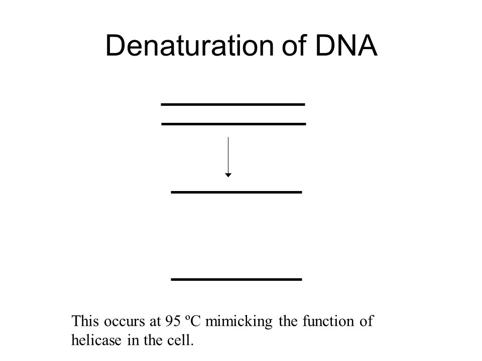 Denaturation of DNA This occurs at 95 ºC mimicking the function of helicase in the cell.