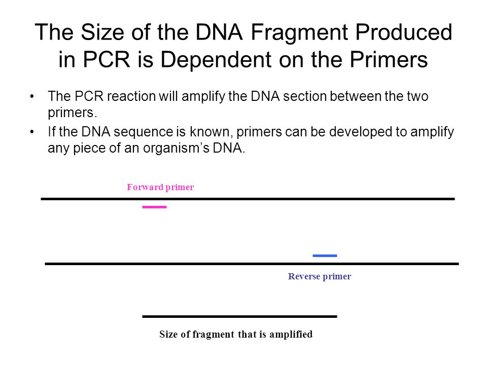 The Size of the DNA Fragment Produced in PCR is Dependent on the Primers The PCR reaction will amplify the DNA section between the two primers. If the