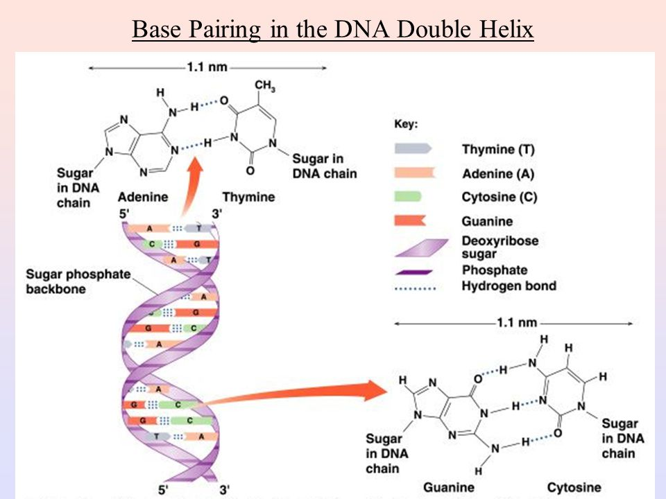 Secondary Structure: DNA Double Helix In DNA there are two strands of nucleotides that wind together in a double helix - the strands run in opposite directions - the bases are are arranged in step-like pairs - the base pairs are held together by hydrogen bonding The pairing of the bases from the two strands is very specific The complimentary base pairs are A-T and G-C - two hydrogen bonds form between A and T - three hydrogen bonds form between G and C Each pair consists of a purine and a pyrimidine, so they are the same width, keeping the two strands at equal distances from each other