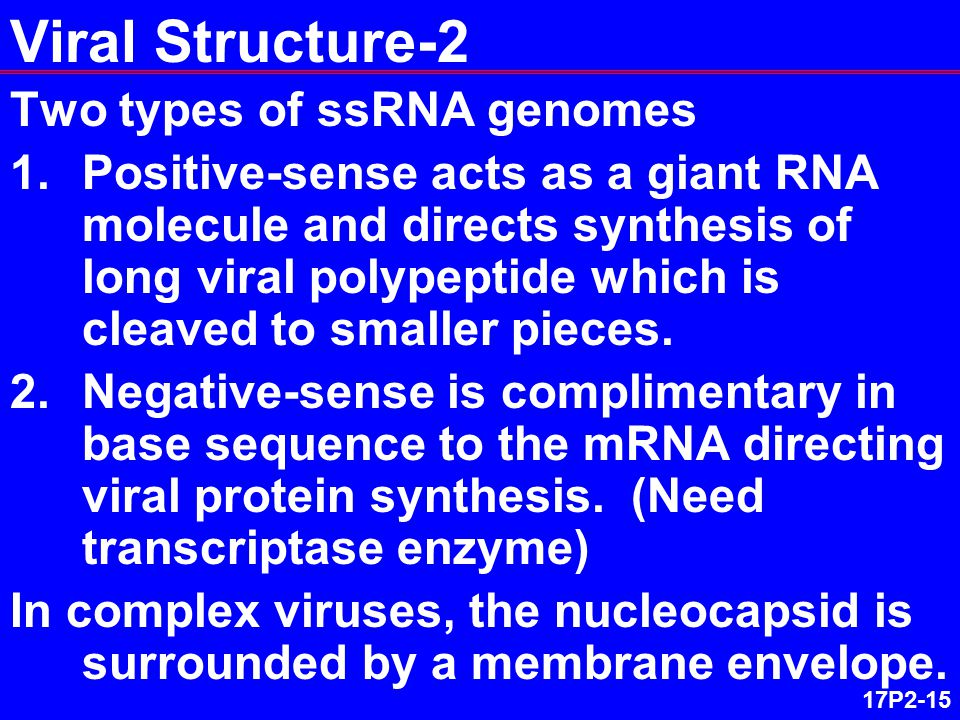 17P2-15 Viral Structure-2 Two types of ssRNA genomes 1.Positive-sense acts as a giant RNA molecule and directs synthesis of long viral polypeptide which is cleaved to smaller pieces.
