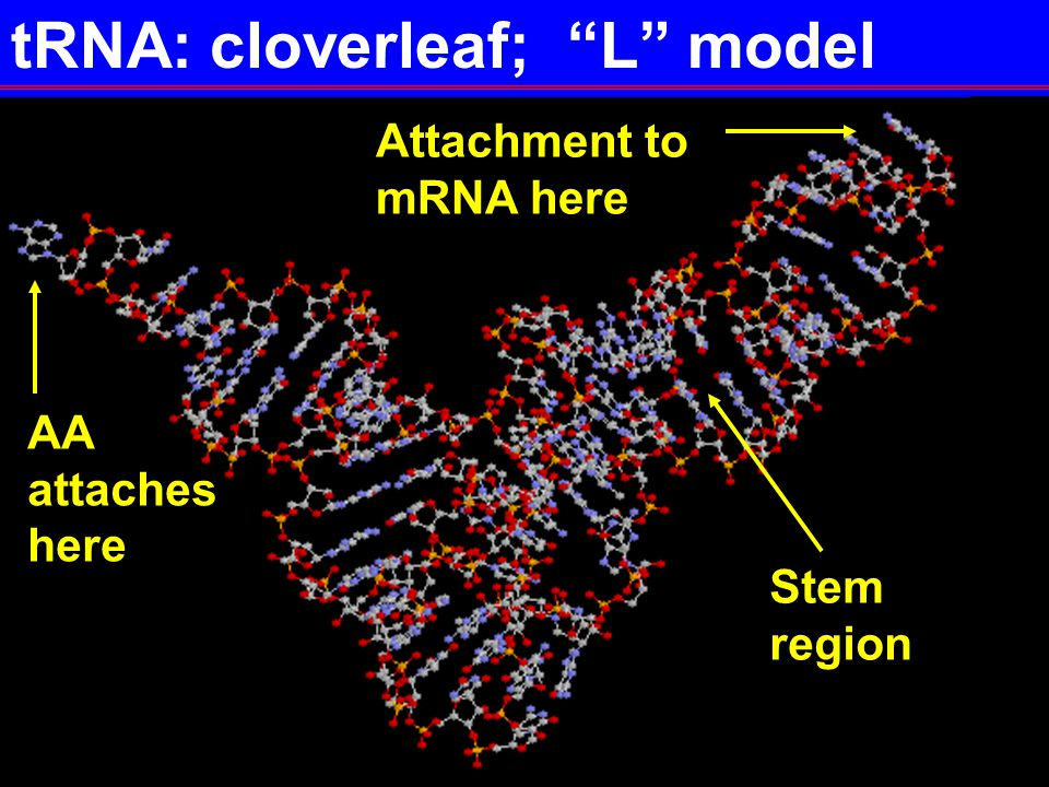 "17P2-6 tRNA: cloverleaf; ""L"" model Attachment to mRNA here Stem region AA attaches here"
