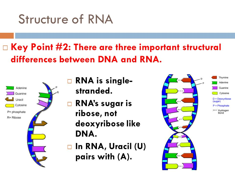 Structure of RNA  Key Point #2: There are three important structural differences between DNA and RNA.