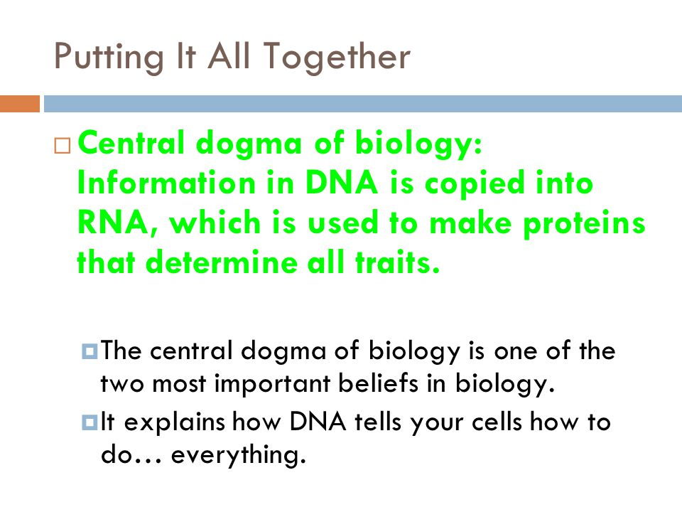 Putting It All Together  Central dogma of biology: Information in DNA is copied into RNA, which is used to make proteins that determine all traits.