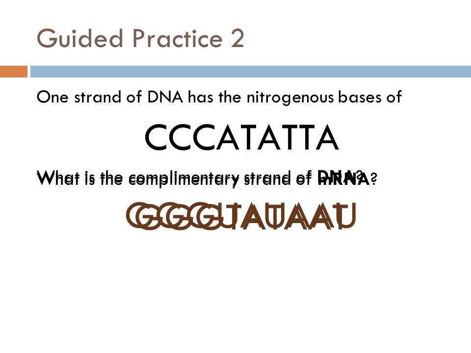 Guided Practice 2 One strand of DNA has the nitrogenous bases of CCCATATTA What is the complimentary strand of DNA.