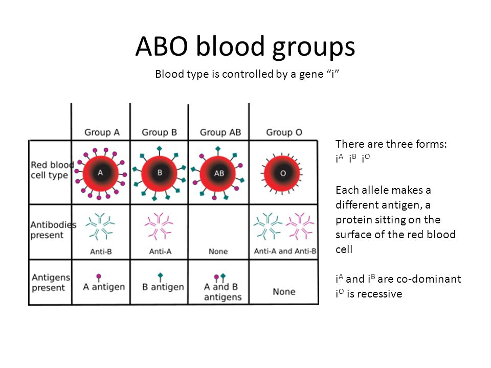 ABO blood groups Blood type is controlled by a gene i There are three forms: i A i B i O Each allele makes a different antigen, a protein sitting on the surface of the red blood cell i A and i B are co-dominant i O is recessive