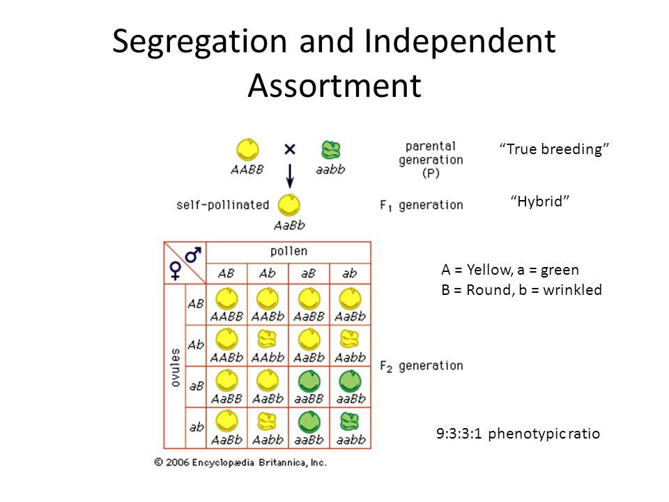 Segregation and Independent Assortment 9:3:3:1 phenotypic ratio A = Yellow, a = green B = Round, b = wrinkled True breeding Hybrid
