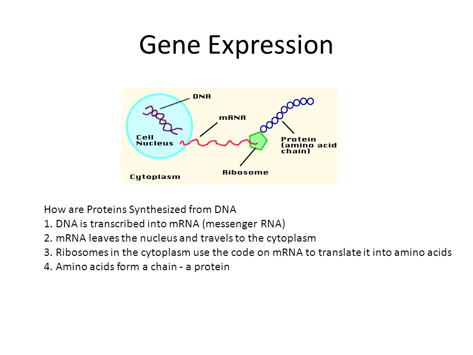 Gene Expression How are Proteins Synthesized from DNA 1.