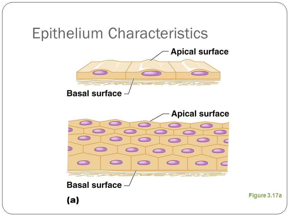 Classification of Epithelia Number of cell layers Simple—one layer Stratified—more than one layer Figure 3.17a