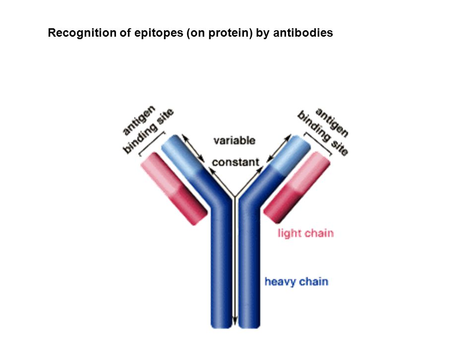 Recognition of epitopes (on protein) by antibodies