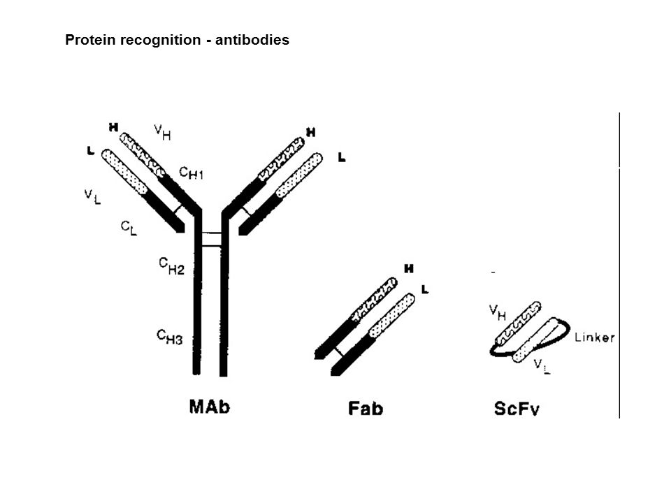 Protein recognition - antibodies