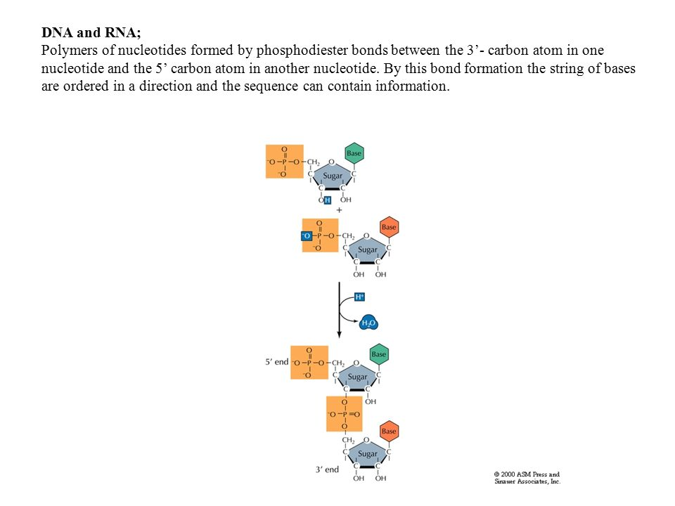 DNA and RNA; Polymers of nucleotides formed by phosphodiester bonds between the 3'- carbon atom in one nucleotide and the 5' carbon atom in another nucleotide.