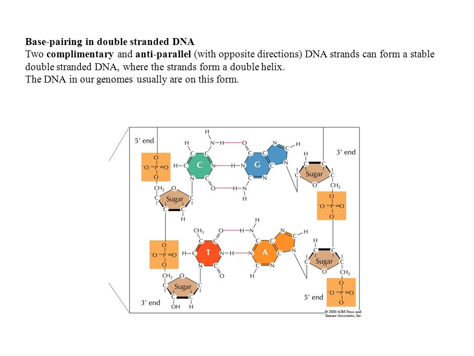 Base-pairing in double stranded DNA Two complimentary and anti-parallel (with opposite directions) DNA strands can form a stable double stranded DNA, where the strands form a double helix.