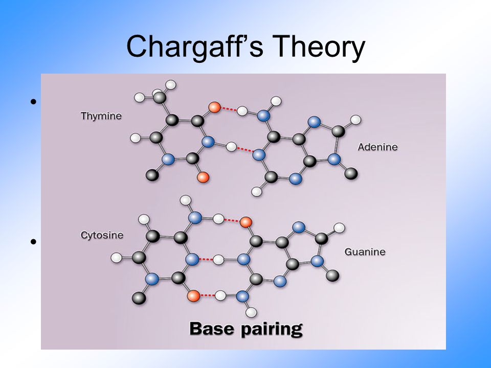 Chargaff's Theory Found that the #of bases (Purines & Pyrimidines) are the same –The # of A's = # of T's –The # of C's = # of G's Found that these bases must be relavent to its matching pair