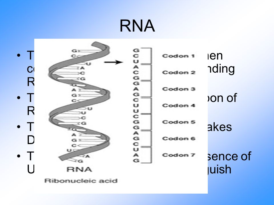 RNA The second point is CRITICAL when comparing the two (and understanding RNA) The hydroxyl group on the 2`-carbon of RIBOSE is MUCH more reactive This is the main difference that makes DNA stable and RNA reactive The absence of Thymine and presence of Uracil makes them easy to distinguish