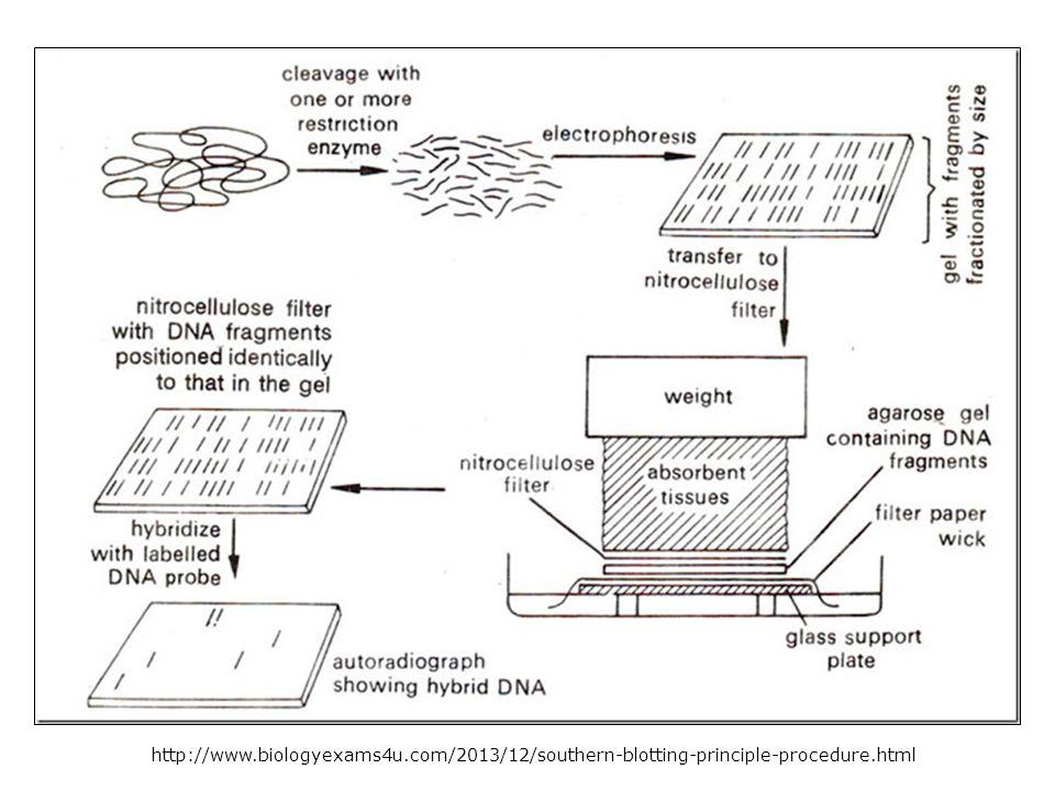 http://www.biologyexams4u.com/2013/12/southern-blotting-principle-procedure.html