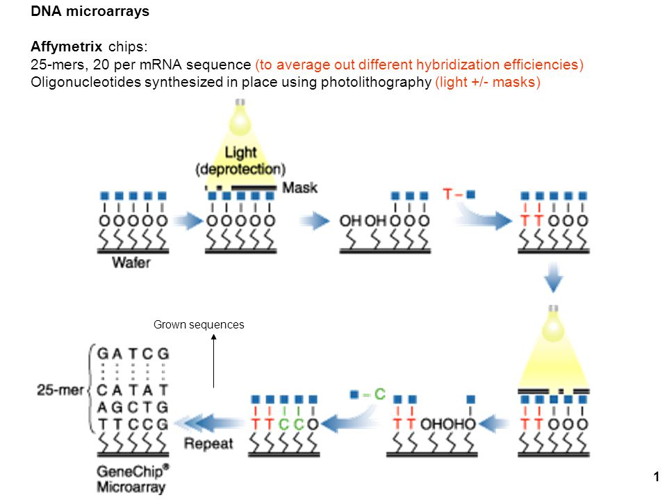 1 DNA microarrays Affymetrix chips: 25-mers, 20 per mRNA sequence (to average out different hybridization efficiencies) Oligonucleotides synthesized in place using photolithography (light +/- masks) Grown sequences