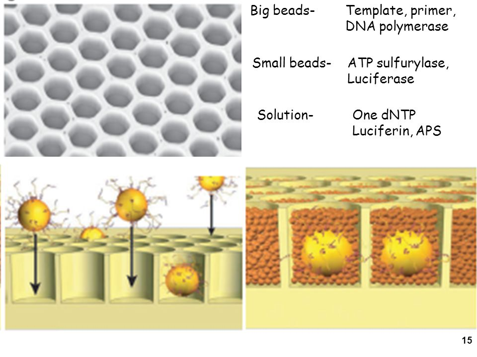 15 Big beads- Template, primer, DNA polymerase Small beads- ATP sulfurylase, Luciferase Solution- One dNTP Luciferin, APS
