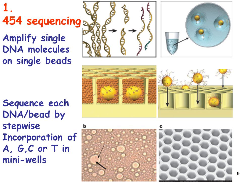 9 1. 454 sequencing Amplify single DNA molecules on single beads Sequence each DNA/bead by stepwise Incorporation of A, G,C or T in mini-wells