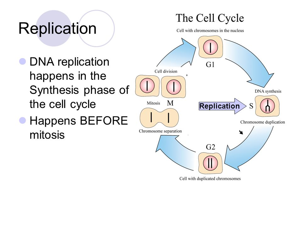 DNA replication happens in the Synthesis phase of the cell cycle Happens BEFORE mitosis Replication