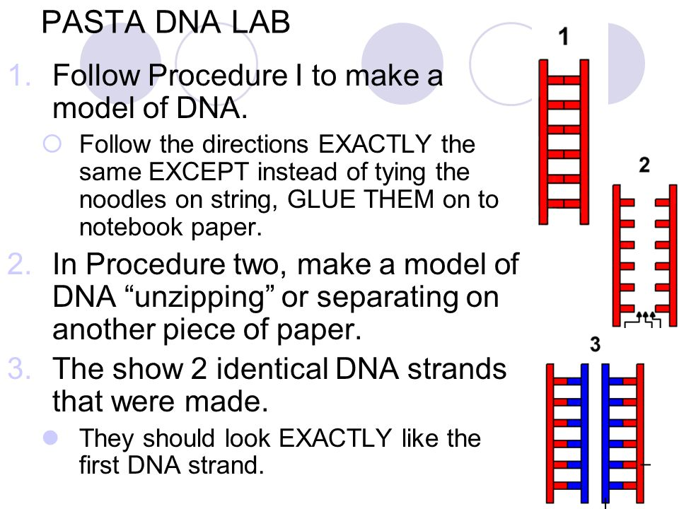 PASTA DNA LAB 1.Follow Procedure I to make a model of DNA.  Follow the directions EXACTLY the same EXCEPT instead of tying the noodles on string, GLU
