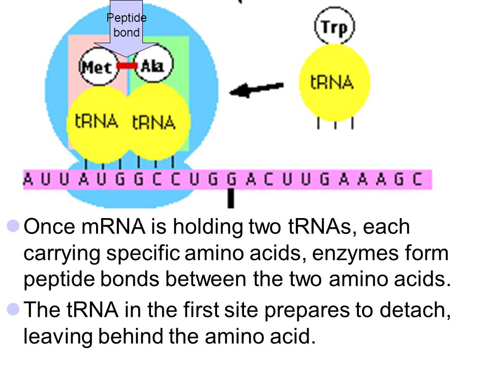 Once mRNA is holding two tRNAs, each carrying specific amino acids, enzymes form peptide bonds between the two amino acids. The tRNA in the first site