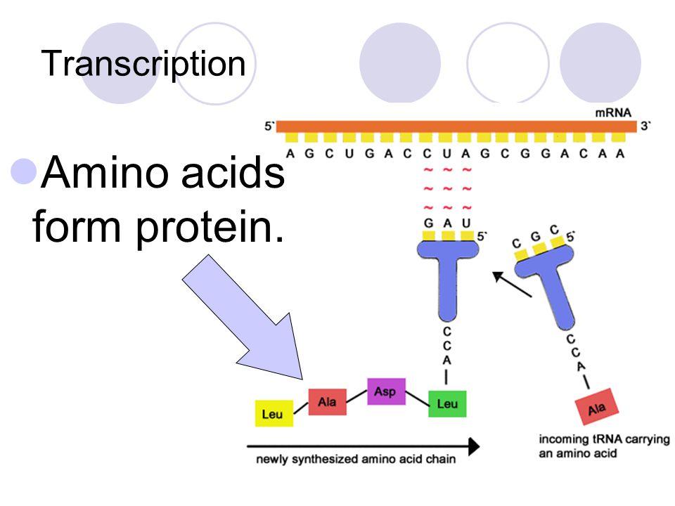 Transcription Amino acids form protein.