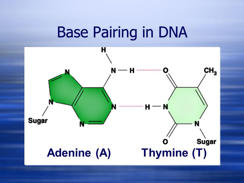 Adenine (A) Thymine (T) Base Pairing in DNA
