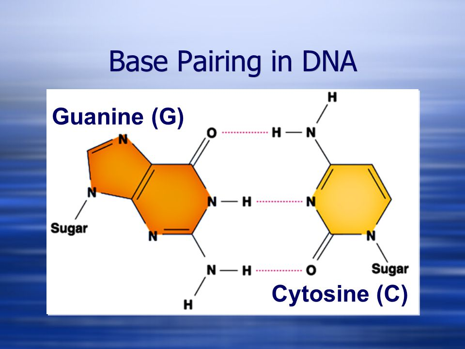 Guanine (G) Cytosine (C) Base Pairing in DNA