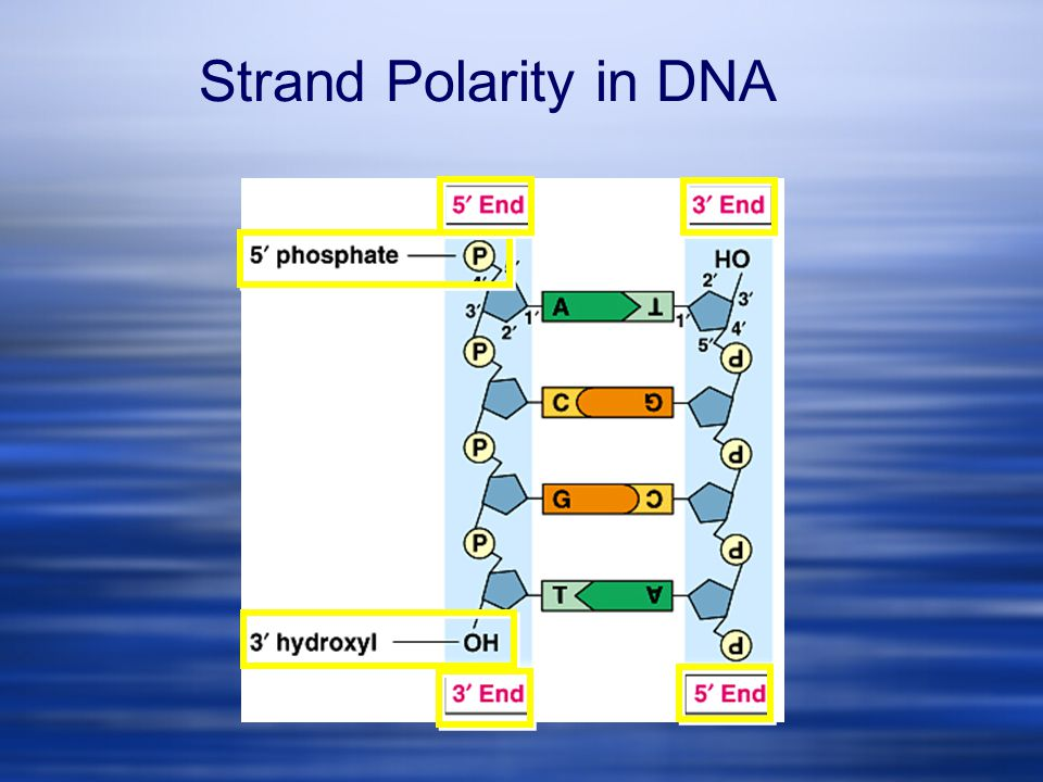 Strand Polarity in Complimentary Strands of Double-Stranded DNA Strand Polarity in DNA