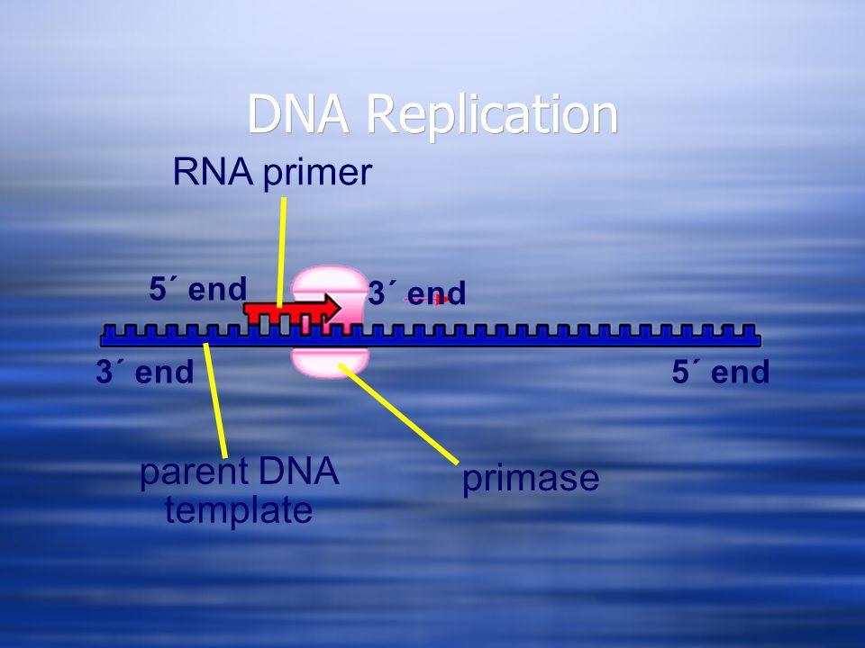 DNA Replication 3´ end5´ end 3´ end 5´ end parent DNA template RNA primer primase