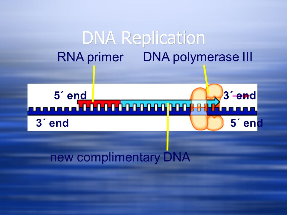 DNA Replication new complimentary DNA RNA primer 3´ end5´ end 3´ end DNA polymerase III