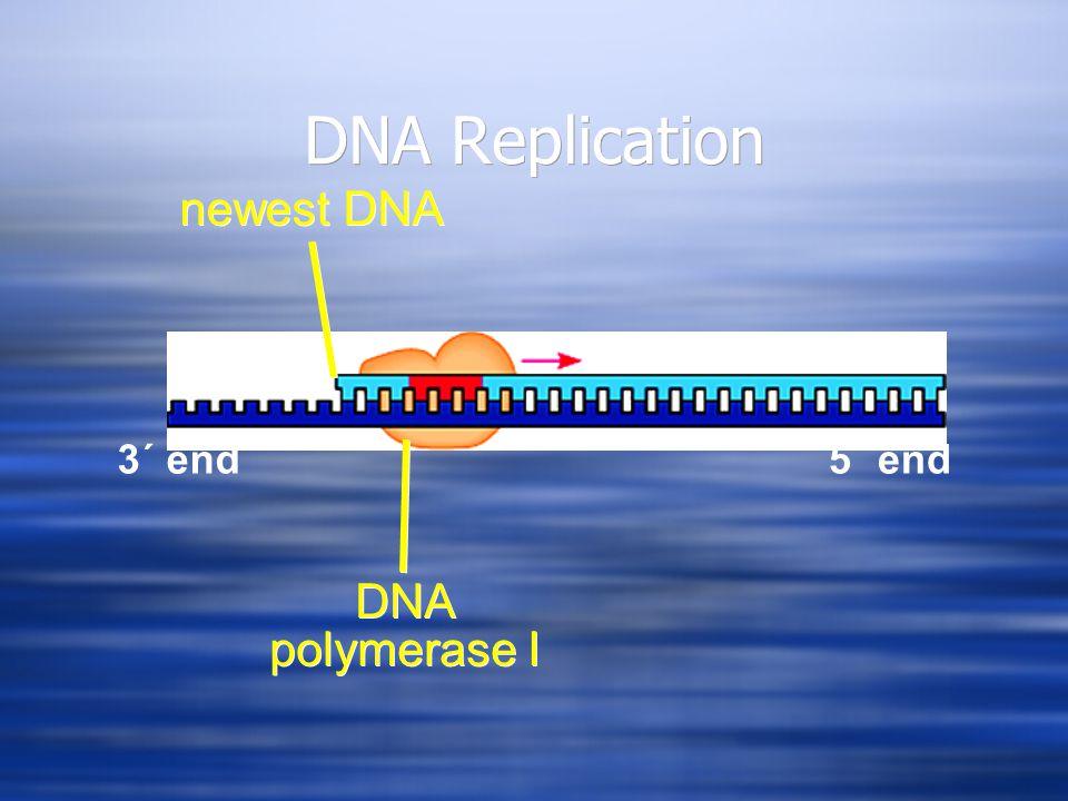 DNA Replication 3´ end5´ end 3´ end newest DNA DNA polymerase I