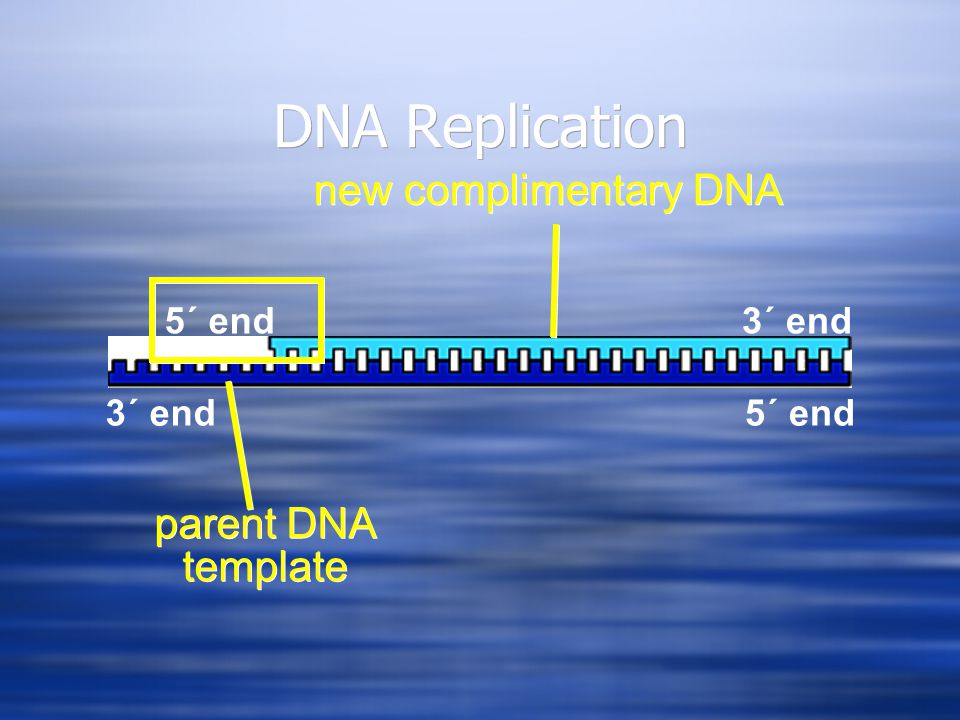 DNA Replication 3´ end5´ end 3´ end parent DNA template new complimentary DNA