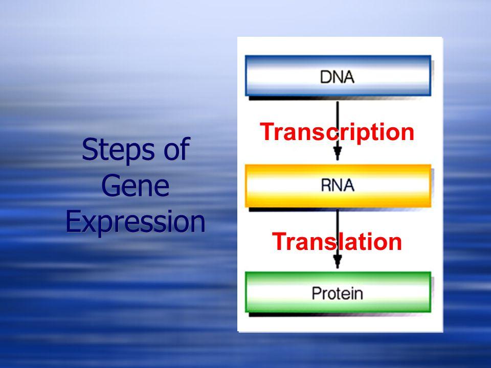 Steps of Gene Expression Transcription Translation