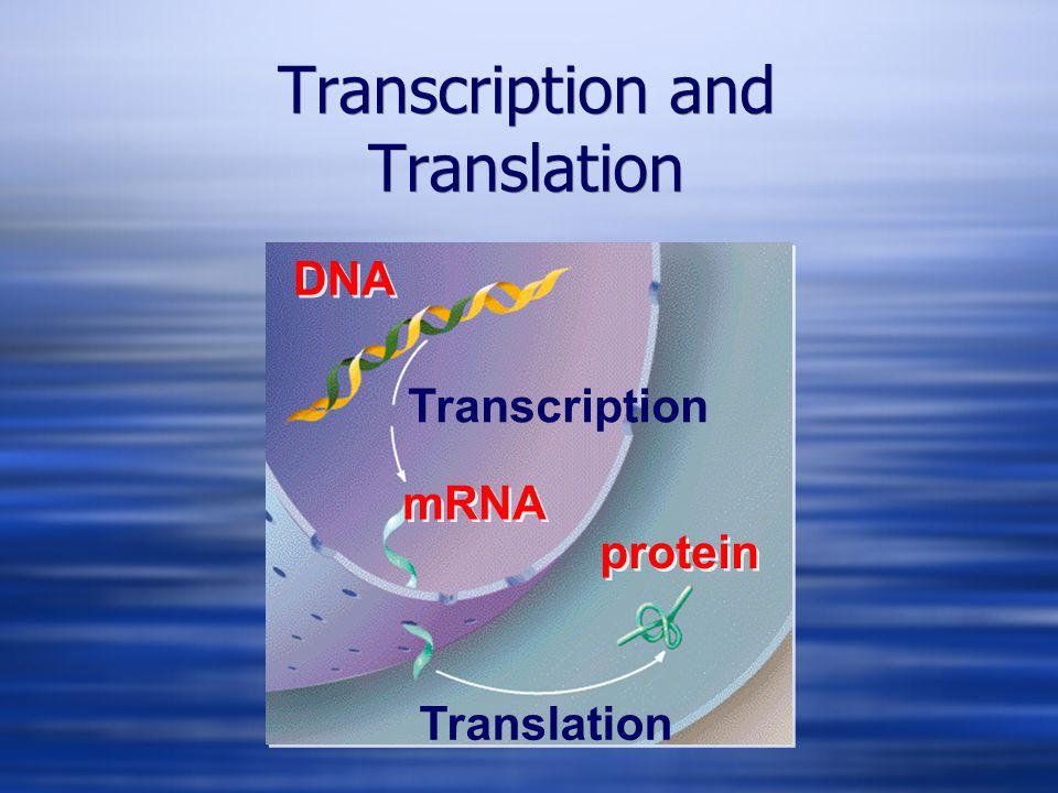 Transcription Translation DNA mRNA protein Transcription and Translation