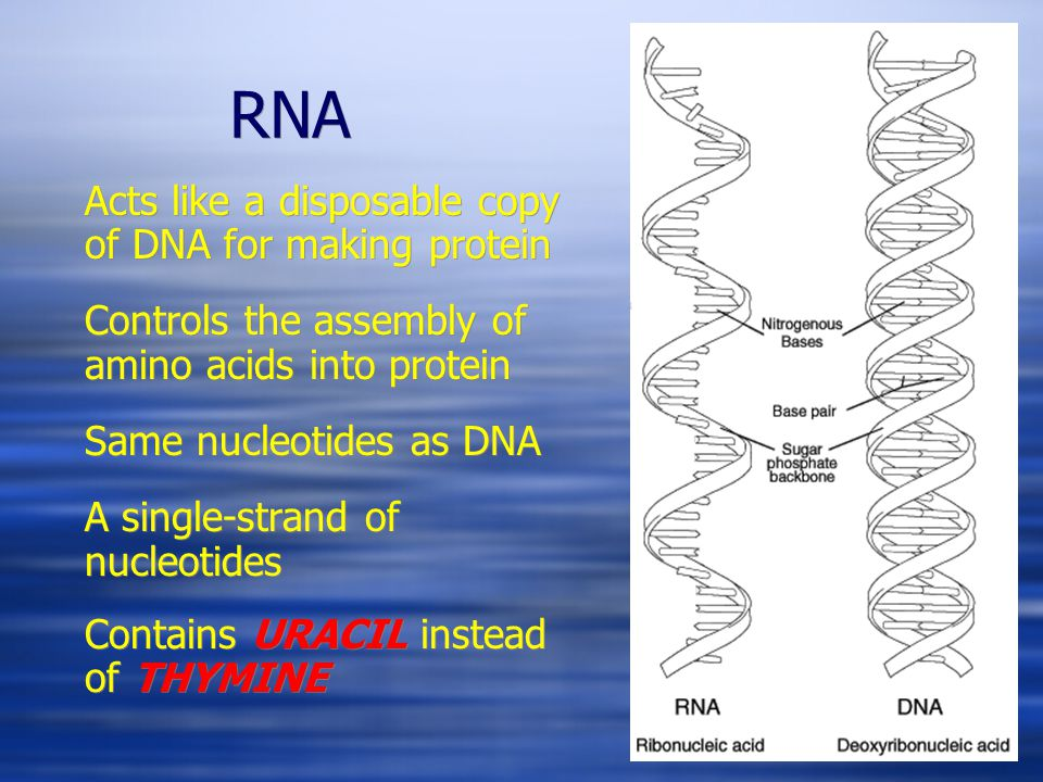 RNA Acts like a disposable copy of DNA for making protein Controls the assembly of amino acids into protein Same nucleotides as DNA A single-strand of nucleotides Contains URACIL instead of THYMINE Acts like a disposable copy of DNA for making protein Controls the assembly of amino acids into protein Same nucleotides as DNA A single-strand of nucleotides Contains URACIL instead of THYMINE