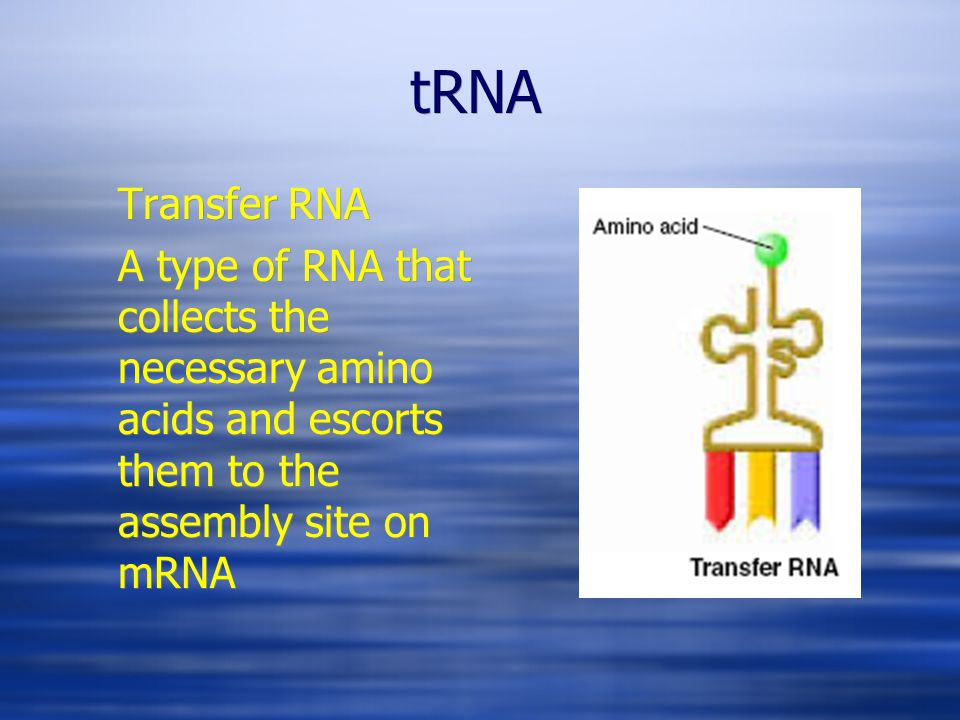 tRNA Transfer RNA A type of RNA that collects the necessary amino acids and escorts them to the assembly site on mRNA Transfer RNA A type of RNA that collects the necessary amino acids and escorts them to the assembly site on mRNA