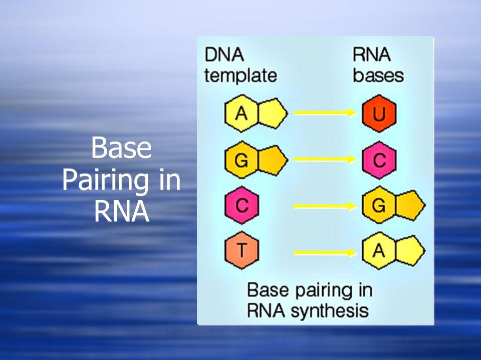 Base Pairing in RNA