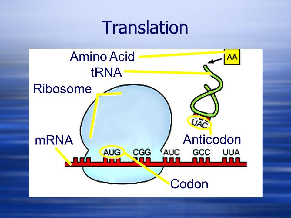 Amino Acid tRNA mRNA Ribosome Codon Anticodon Translation 5'3'