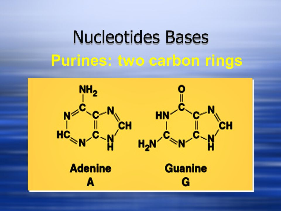 Nucleotides Bases Purines: two carbon rings