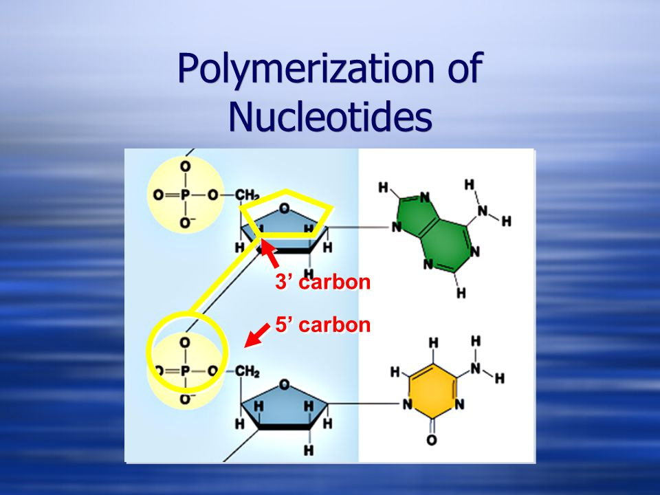 Polymerization of Nucleotides 5' carbon 3' carbon