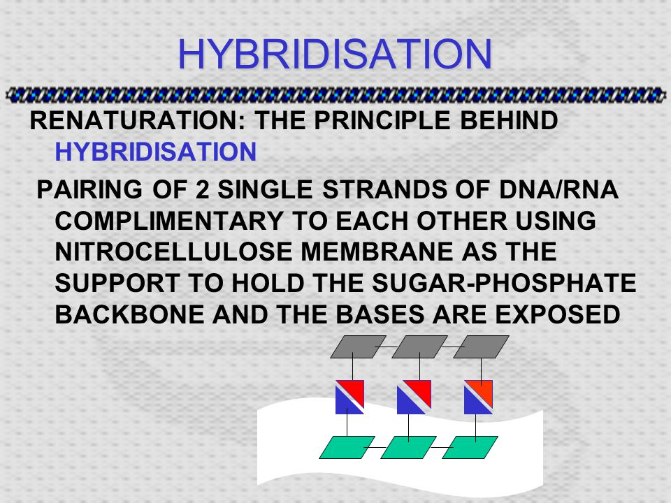 HYBRIDISATION RENATURATION: THE PRINCIPLE BEHIND HYBRIDISATION PAIRING OF 2 SINGLE STRANDS OF DNA/RNA COMPLIMENTARY TO EACH OTHER USING NITROCELLULOSE MEMBRANE AS THE SUPPORT TO HOLD THE SUGAR-PHOSPHATE BACKBONE AND THE BASES ARE EXPOSED