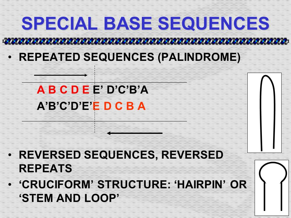 SPECIAL BASE SEQUENCES REPEATED SEQUENCES (PALINDROME) A B C D E E' D'C'B'A A'B'C'D'E'E D C B A REVERSED SEQUENCES, REVERSED REPEATS 'CRUCIFORM' STRUCTURE: 'HAIRPIN' OR 'STEM AND LOOP'