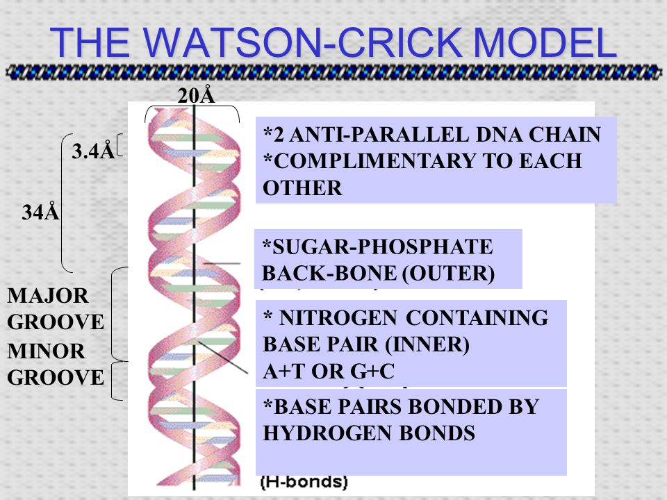 THE WATSON-CRICK MODEL MINOR GROOVE MAJOR GROOVE *SUGAR-PHOSPHATE BACK-BONE (OUTER) * NITROGEN CONTAINING BASE PAIR (INNER) A+T OR G+C 34Å 3.4Å 20Å *2 ANTI-PARALLEL DNA CHAIN *COMPLIMENTARY TO EACH OTHER *BASE PAIRS BONDED BY HYDROGEN BONDS