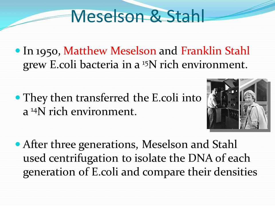 Meselson & Stahl In 1950, Matthew Meselson and Franklin Stahl grew E.coli bacteria in a 15 N rich environment. They then transferred the E.coli into a