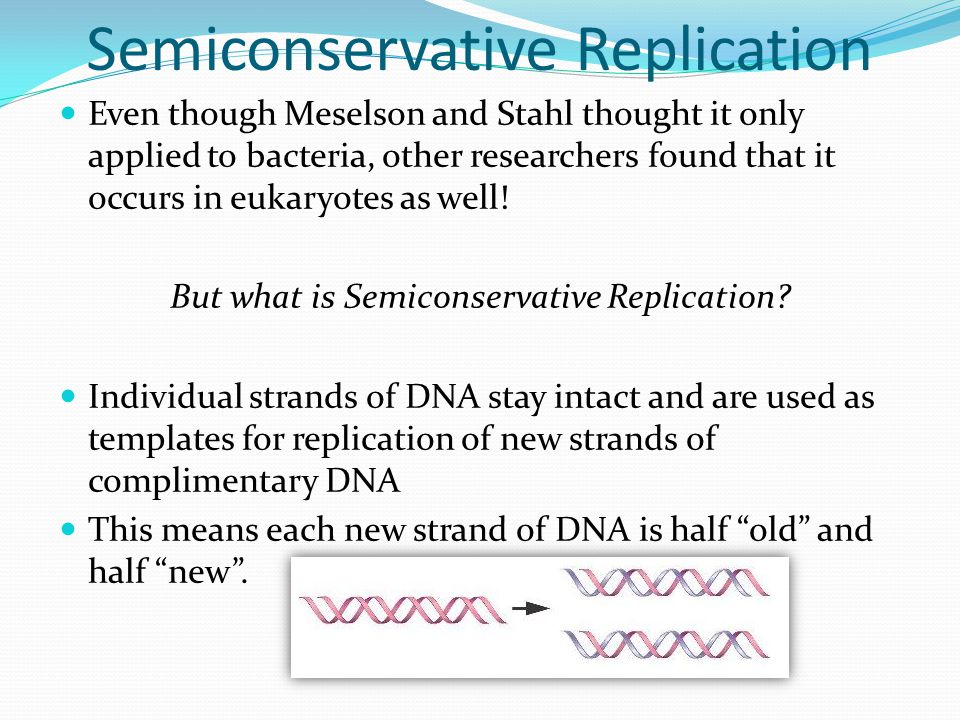 Semiconservative Replication Even though Meselson and Stahl thought it only applied to bacteria, other researchers found that it occurs in eukaryotes