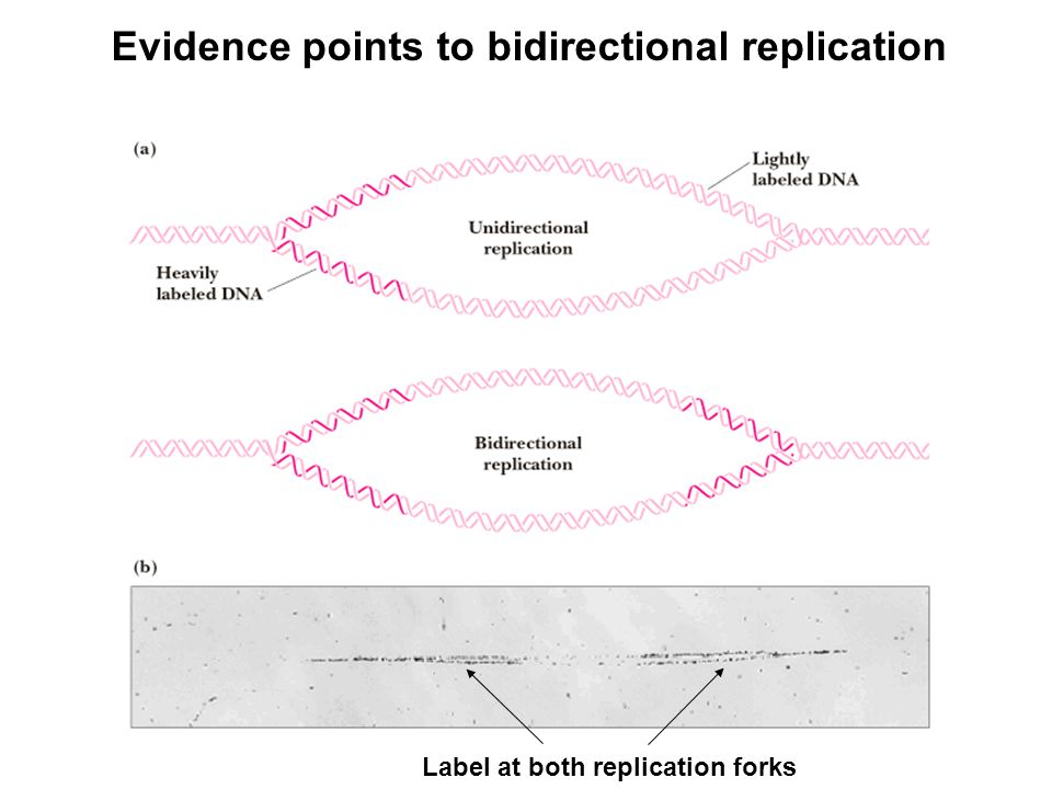 Evidence points to bidirectional replication Label at both replication forks