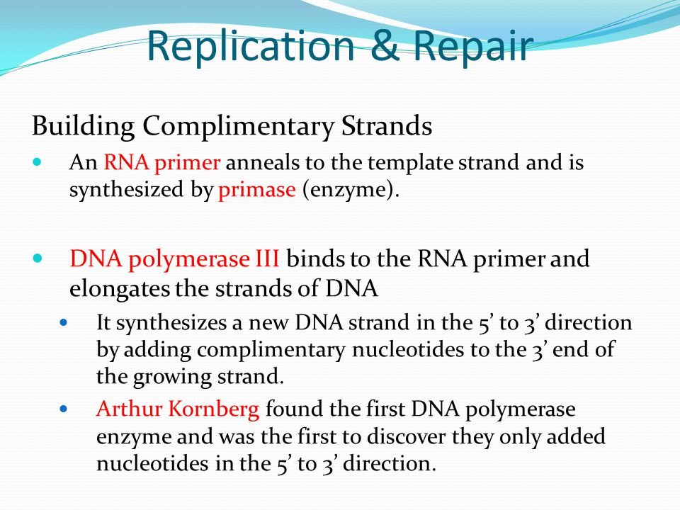 Replication & Repair Building Complimentary Strands An RNA primer anneals to the template strand and is synthesized by primase (enzyme).