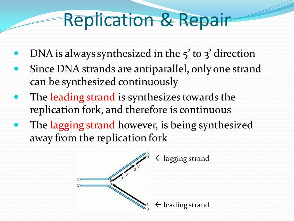Replication & Repair DNA is always synthesized in the 5' to 3' direction Since DNA strands are antiparallel, only one strand can be synthesized continuously The leading strand is synthesizes towards the replication fork, and therefore is continuous The lagging strand however, is being synthesized away from the replication fork  lagging strand  leading strand