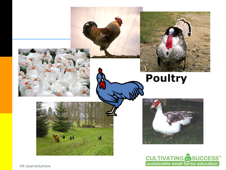 Poultry MS clipart and photos